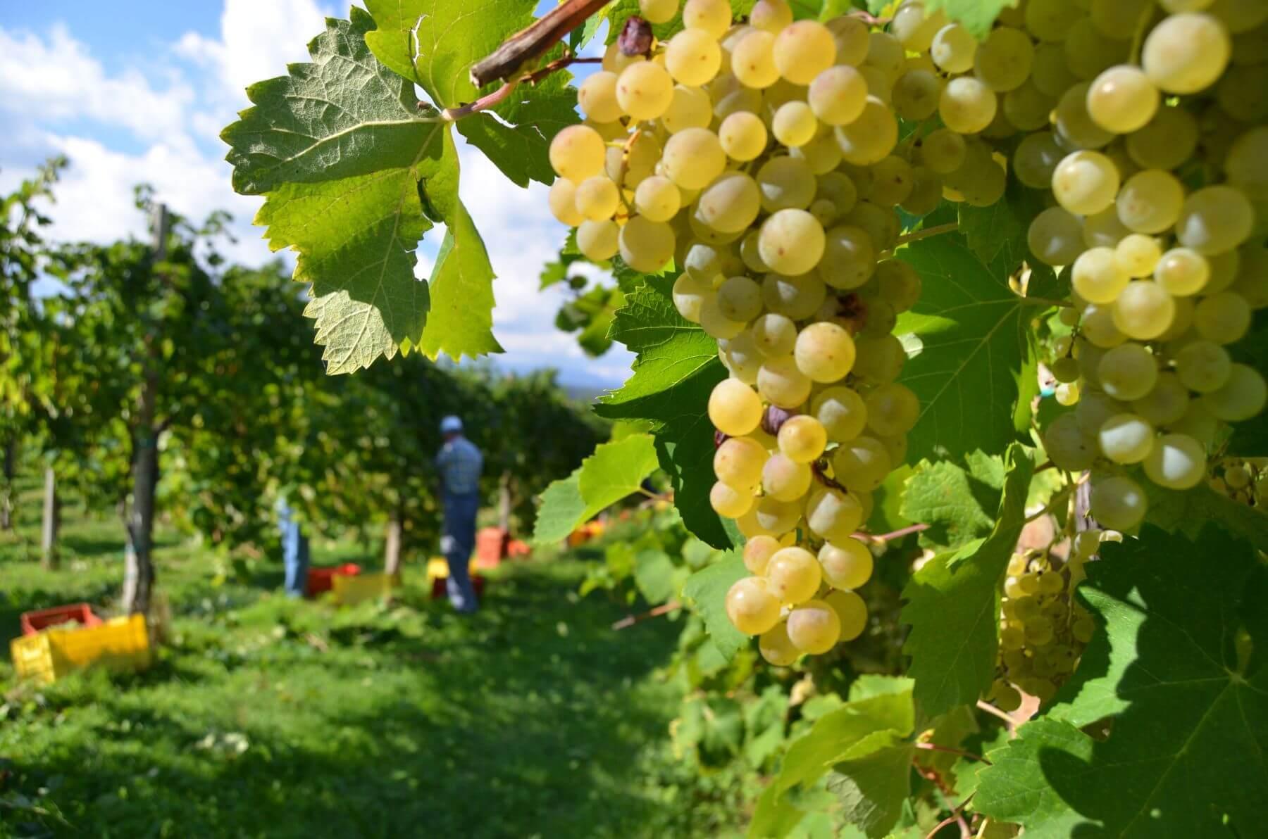 Wine grapes from the Prosecco region